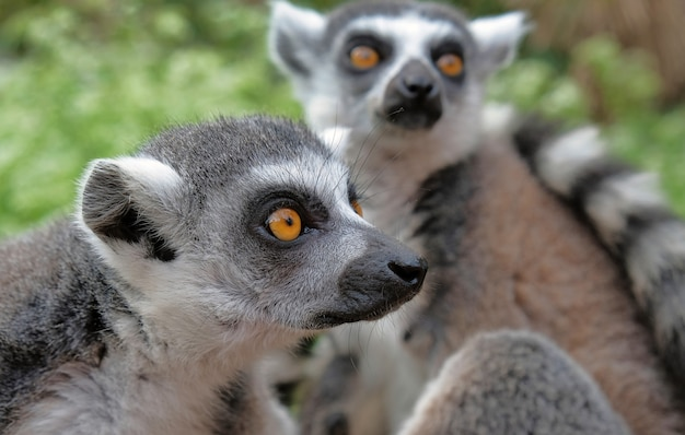 Ring tailed lemurs in the national park in the island of madagascar.