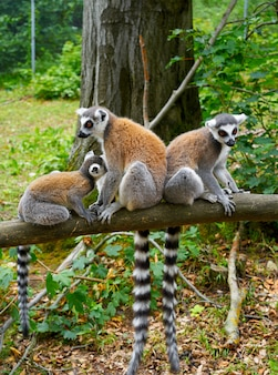 Ring tailed lemurs outdoor forest