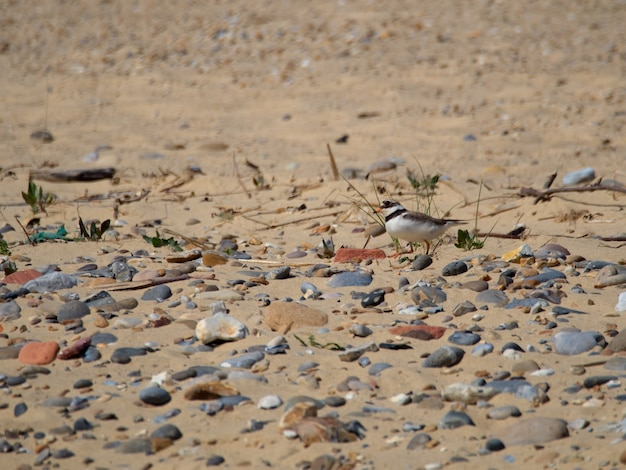 Ringed plover (charadrius hiaticula) at covehithe in suffolk