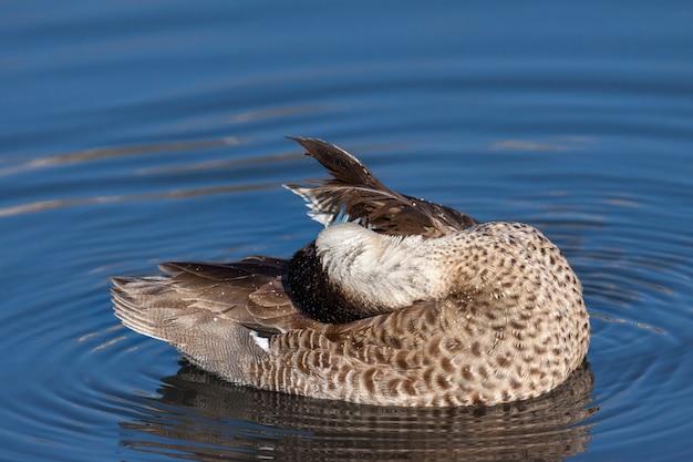 런던 호수에서 다듬고 있는 ringed teal(callonetta leucophrys)