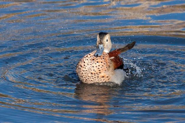 Ringed teal (callonetta leucophrys) 런던의 호수에서 튀는