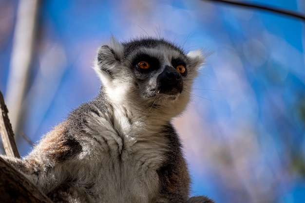 Ringtailed lemur with a surprised face on a blurred background