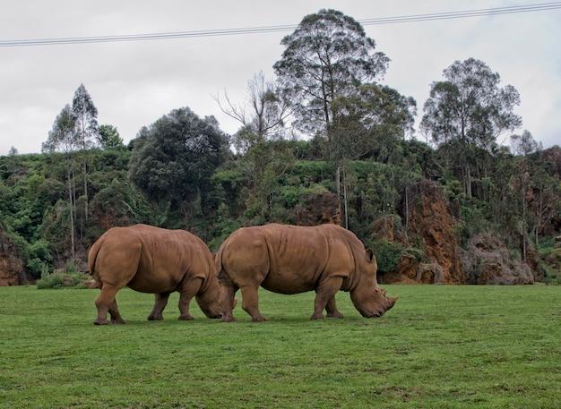 Rinocerontes en semilibertad