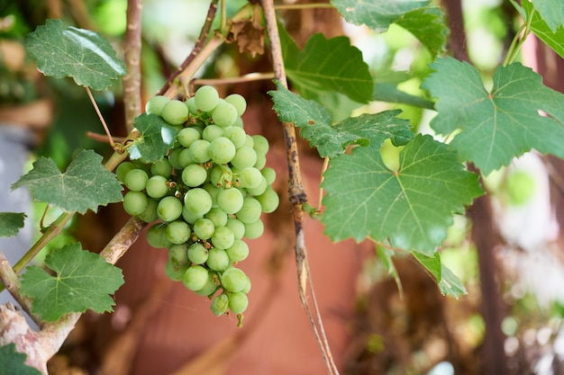 The rip of ripe green grapes growing in the vineyard.