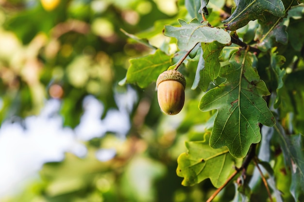 熟したどんぐりと木の緑の葉
