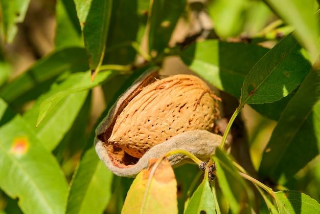 녹색 잎 나뭇 가지에 잘 익은 아몬드를 닫습니다.
