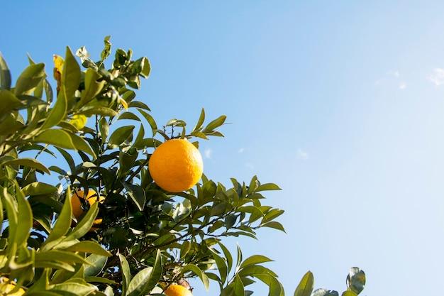 枝にぶら下がっている熟した、新鮮なオレンジ