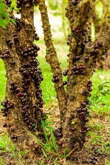 Зрелые и зеленые плоды jabuticaba на дереве.
