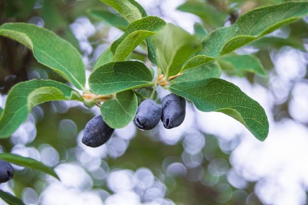 緑の葉に熟したジューシーなスイカズラの果実。ベジタリアンの背景、緑の低木と野生動物の概念、クローズアップ。