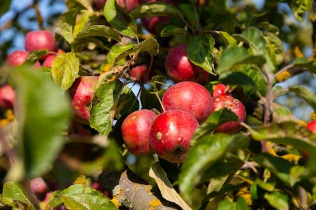 熟したジューシーな赤いリンゴが木から吊るされています。セレクティブフォーカス