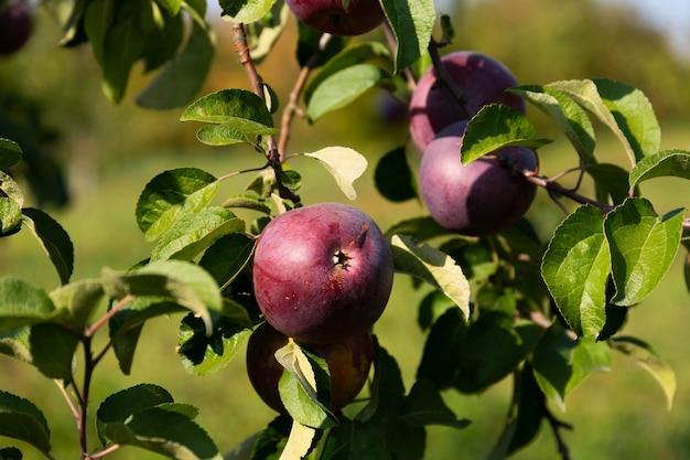 熟したジューシーな赤いリンゴが木から吊るされています。