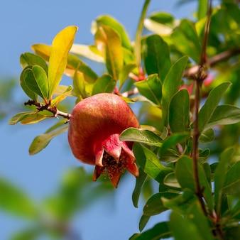 Спелые и маленькие плоды граната на ветке дерева