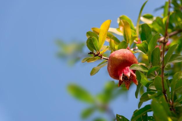나뭇 가지에 잘 익은 작은 석류 열매