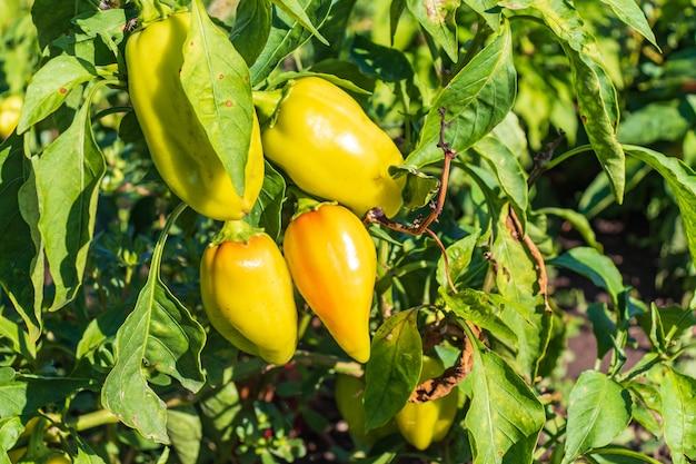 Спелые и незрелые болгарские перцы с каплями воды, растущими на кустах в саду. болгарский или сладкий перец.