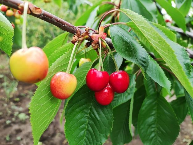 有機果樹園の木の枝に熟した未熟の赤いサクランボ