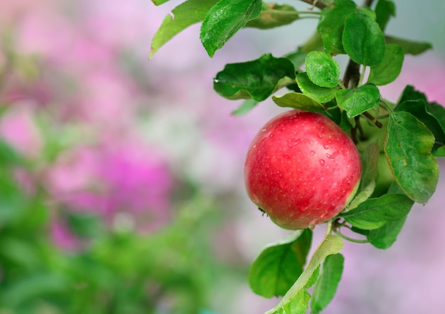 Ripe apple in the garden