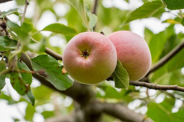 잎과 가지에 잘 익은 사과