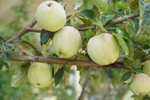 木の上の熟したリンゴ。私のカントリーハウスの天然物。木の枝にジューシーで熟したリンゴ。