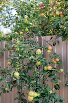 Спелые яблоки, висящие на концепции уборки веток