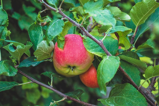 Ripe apples hanging on tree branch. sweet fruit. natural and healthy food. organic product.