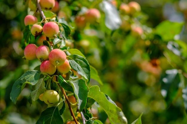 晴れた夏の日に庭の枝に熟したリンゴ