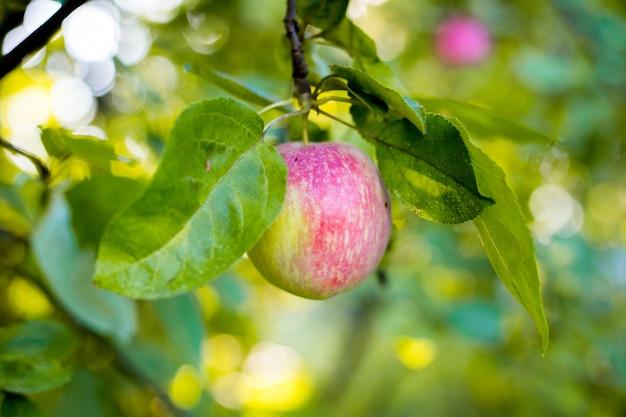 Спелые яблоки на ветке дерева во время сбора урожая