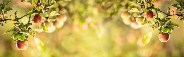 Спелые яблоки на ветвях яблони. концепция уборки яблок - панорамный баннер.