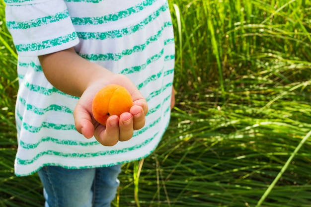 Ripe apricot in the hands of a child