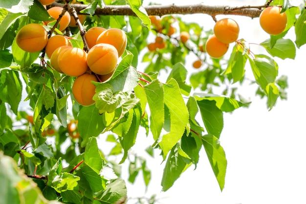 Ripe apricots on a tree.