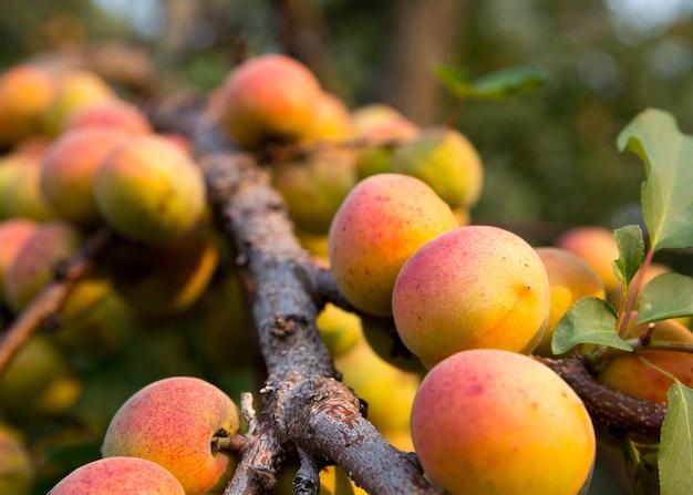 Спелые абрикосы