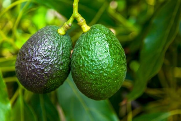 Ripe of avocados