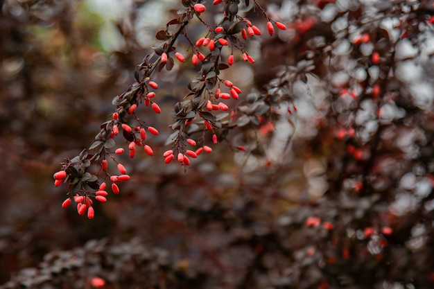 В саду растут спелые плоды барбариса. свежие красные ягоды, висит на ветке. органическое овощеводство.