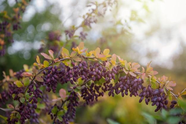 Ripe barberry on a green bush