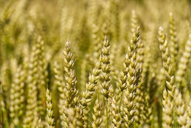 収穫の準備ができて、夏の暑い日にフィールドで熟した大麦。