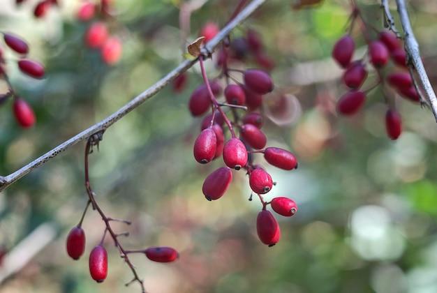 熟したメギの果実が自然と野生植物をクローズアップ
