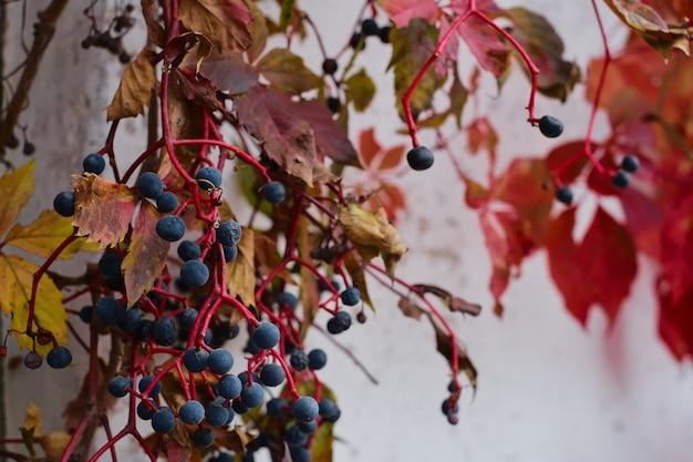 古い納屋の壁にある女の子らしいブドウの枝に熟したベリーと赤い葉があり、前景に選択的に焦点を合わせています。コピースペースと秋の背景。