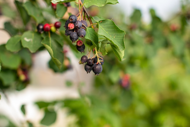 Спелые ягоды на ветке куста в саду