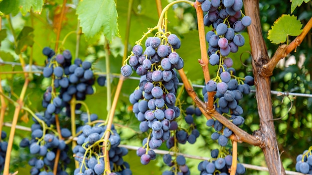 Ripe black grape fruit harvest in nature for food and vine in autumn. long web banner.