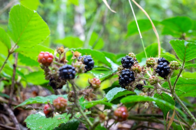 Ripe blackberries on a bush in the forest.