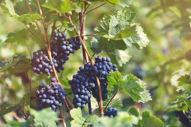 ブドウ園の熟した青ブドウ秋の晴れた日の収穫時期