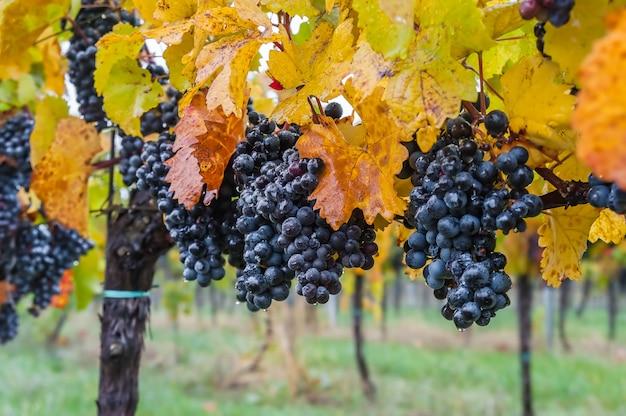 露秋ぶどう畑の選択と集中の滴と枝に熟した青ブドウ