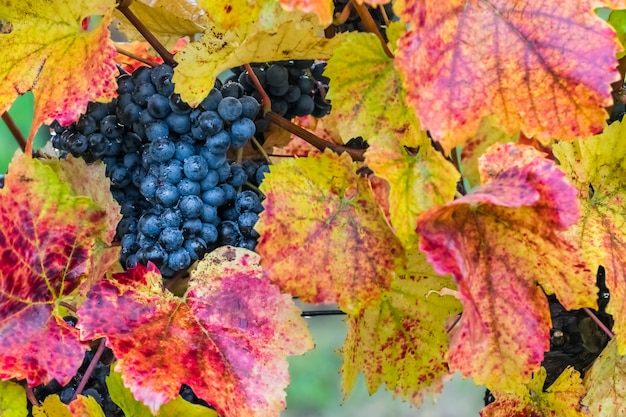 枝に熟した青ブドウ
