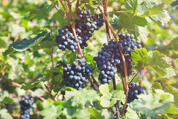Ripe blue grapes in vineyard. autumn, sunny day, harvest time. selective focus, copy space. winegrowing concept