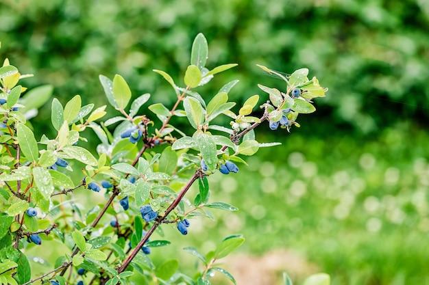 Спелые синие ягоды жимолости, растущие на зеленой ветке, листья с каплями воды после дождя