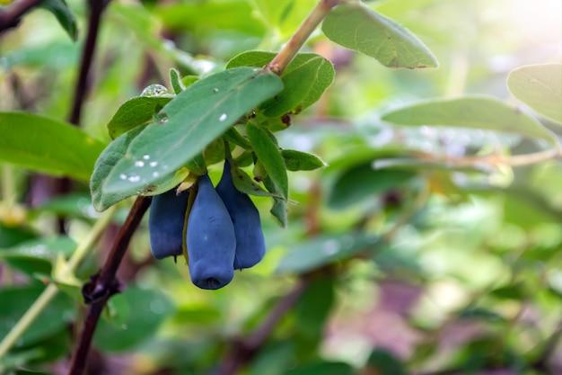 Спелые ягоды синей жимолости на кусте во время сбора урожая