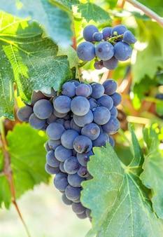 Ripe blue vine against the background vineyard.