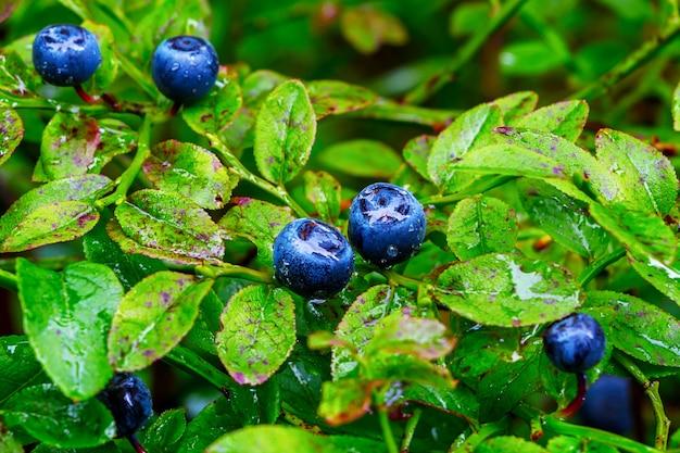 熟したブルーベリーの果実と水滴