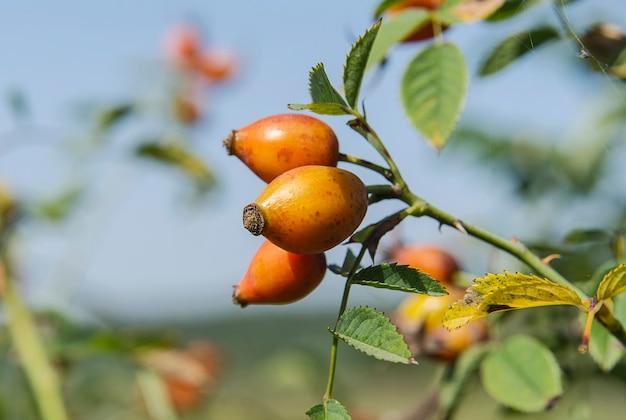 Спелые ягоды шиповника на ветке куста