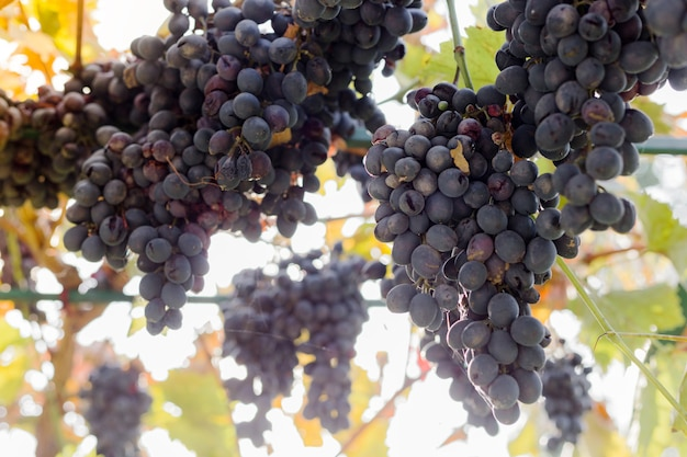 Ripe bunches of black grapes on vine outdoors. autumn grapes harvest in vineyard for wine making. cabernet sauvignon, merlot, pinot noir, sangiovese grape sort.viticulture, homemade winemaking concept