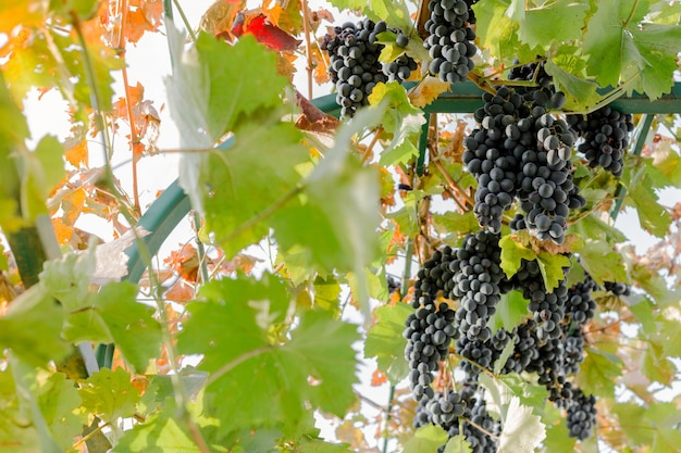 Ripe bunches of black grapes on vine outdoors. autumn grapes harvest in vineyard for wine making.